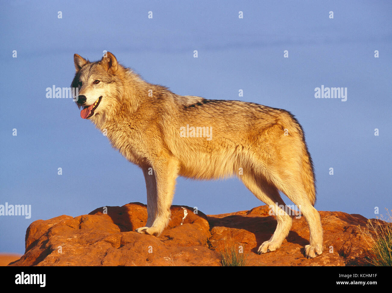 USA. Tierwelt. Grauer Wolf. Stockbild