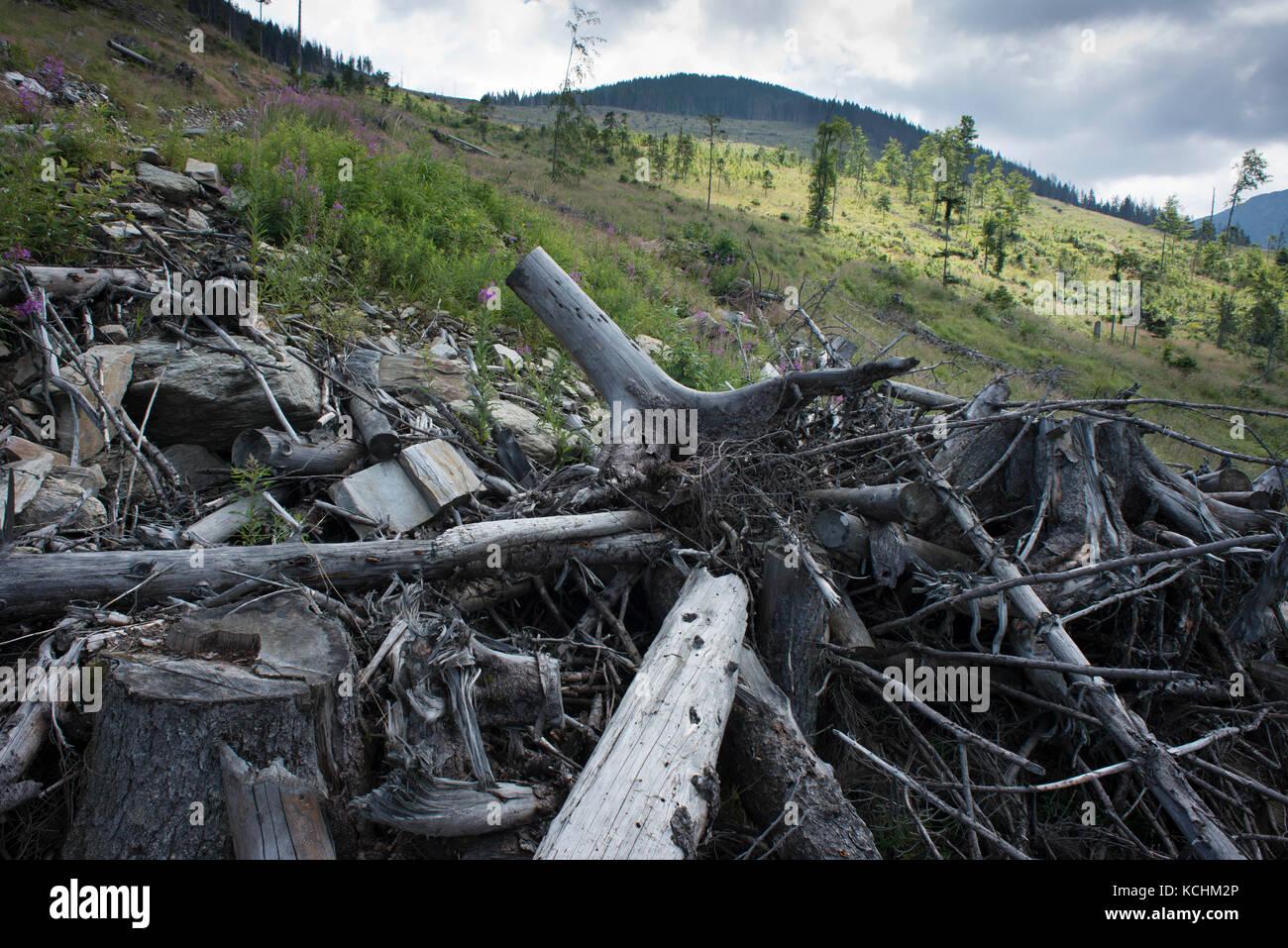 Fagaras-Gebirge Natura 2000-Gebiet / Rumänien: Riesenfreischnitt im Ucea Mare-Tal im Fagaras-Gebirge Natura 2000 Stockfoto