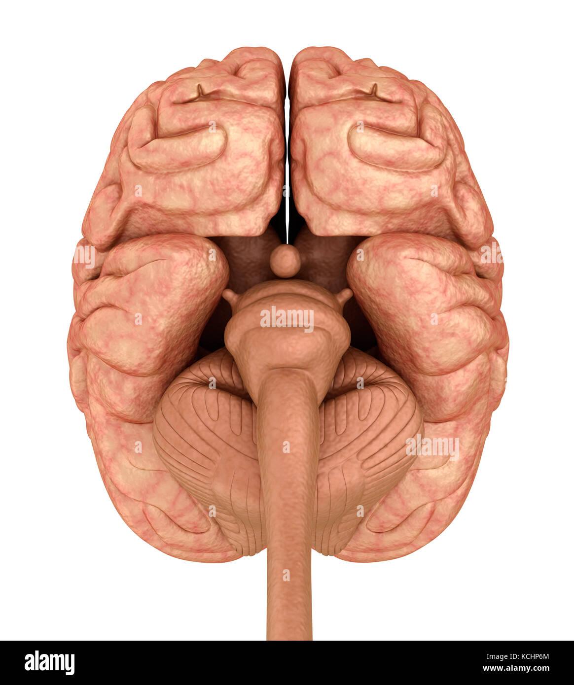 Menschliche Gehirn 3D-Modell, isoliert auf Weiss. medizinisch genaue ...