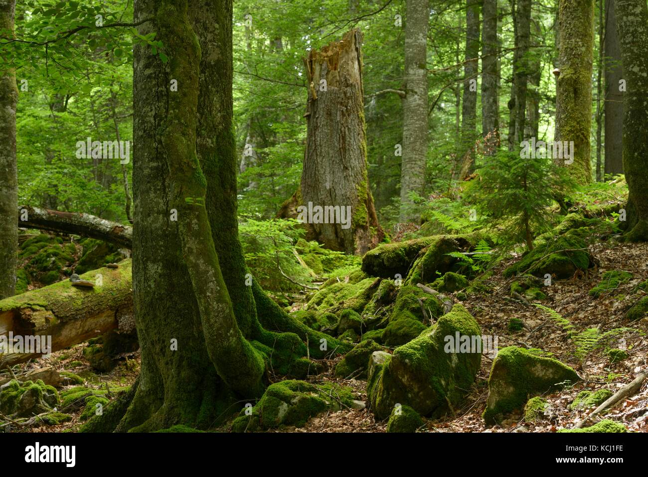 """Altbäume im größten Primärwald bleiben in den Alpen: """"Rothwald"""" im UNESCO-Welterbe Wildnis Dürrenstein. Stockfoto"""