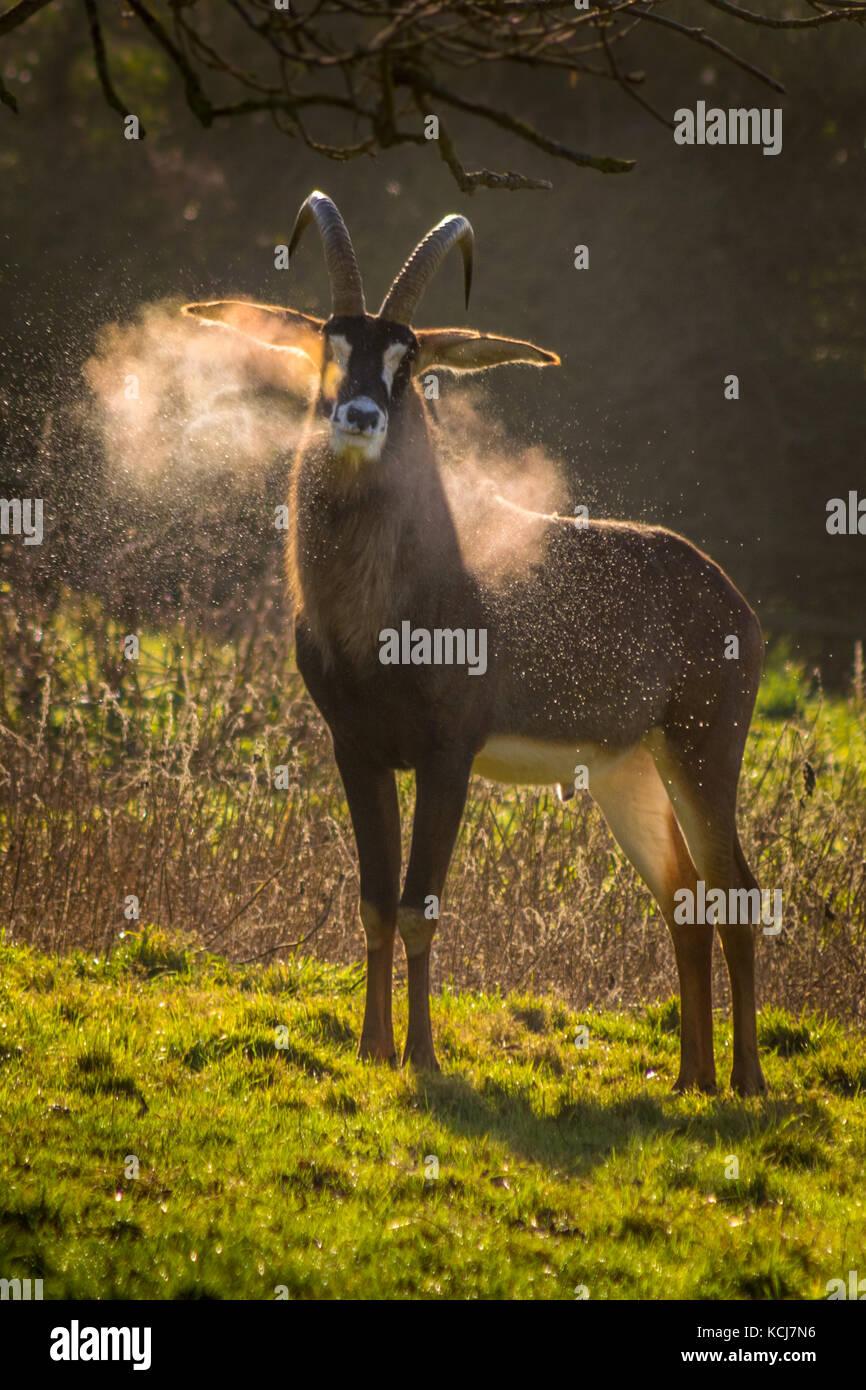 Pferdeantilope snorting Kondenswasser in den frühen Morgen Winter Sonne Stockbild