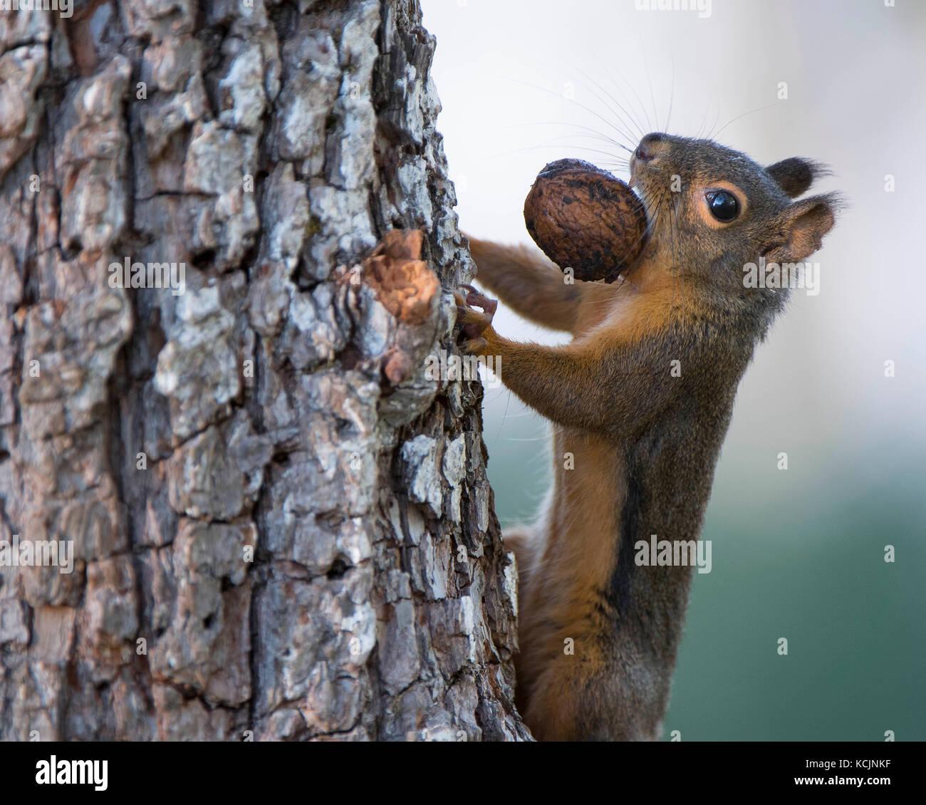 Hemlock Cones Stockfotos & Hemlock Cones Bilder - Alamy