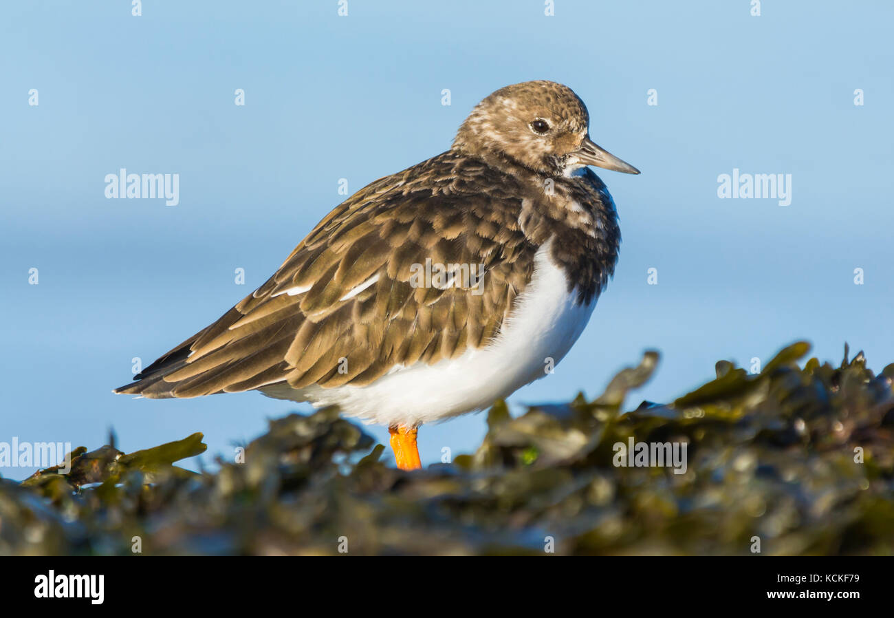 Turnstone Vogel (Arenaria interpres) in nicht-Zucht Gefieder an einem Strand im Herbst in West Sussex, England, Stockbild