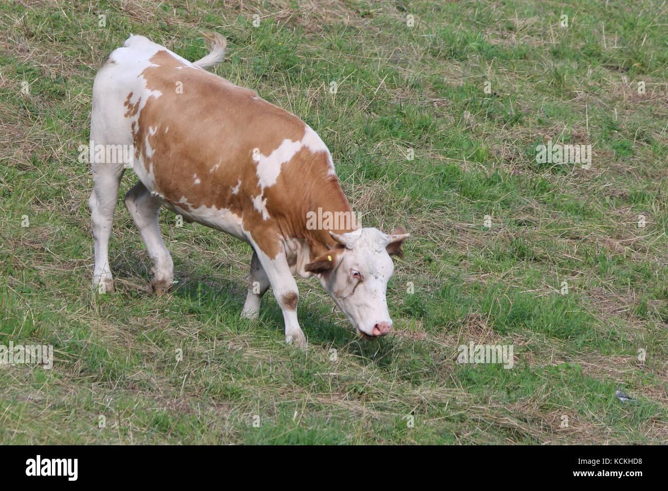 Eine weidende Rinder auf der Weide Stockfoto