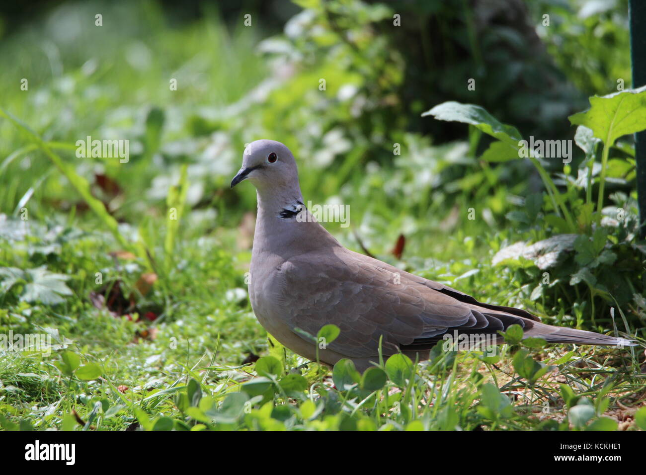 Eurasian collared Dove in das grüne Gras Stockfoto