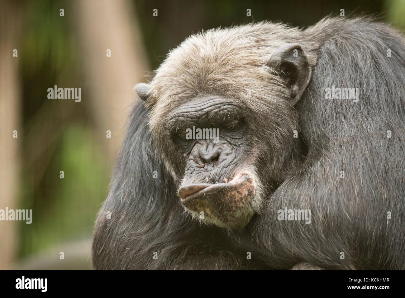 Schimpanse Lustig