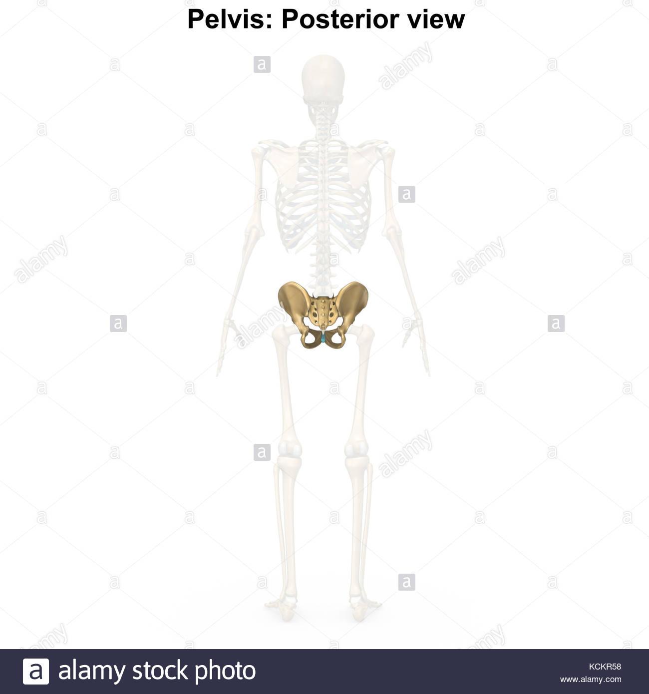 Ziemlich Menschliche Skelettsystem Bilder Ideen - Physiologie Von ...