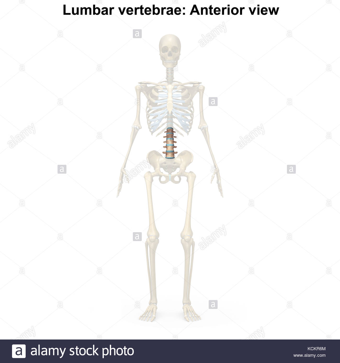 Beste Lendennervenwurzel Anatomie Zeitgenössisch - Physiologie Von ...