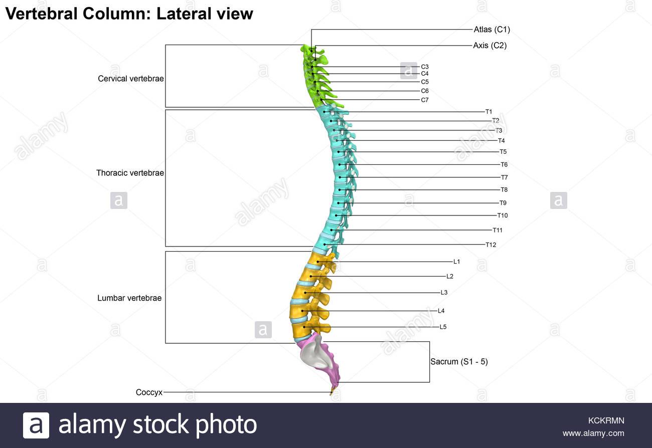 Cervical Spine Stockfotos & Cervical Spine Bilder - Seite 9 - Alamy