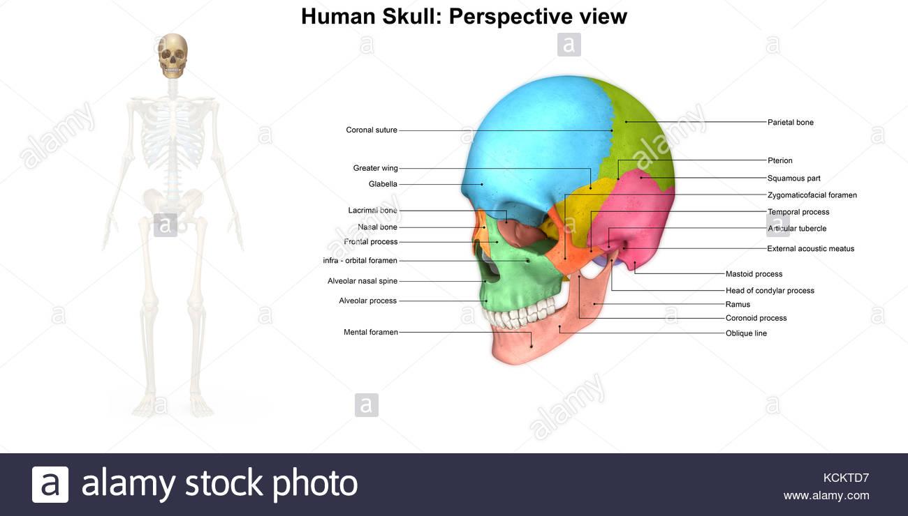 Tolle Gesichtsmuskel Diagramm Zeitgenössisch - Menschliche Anatomie ...