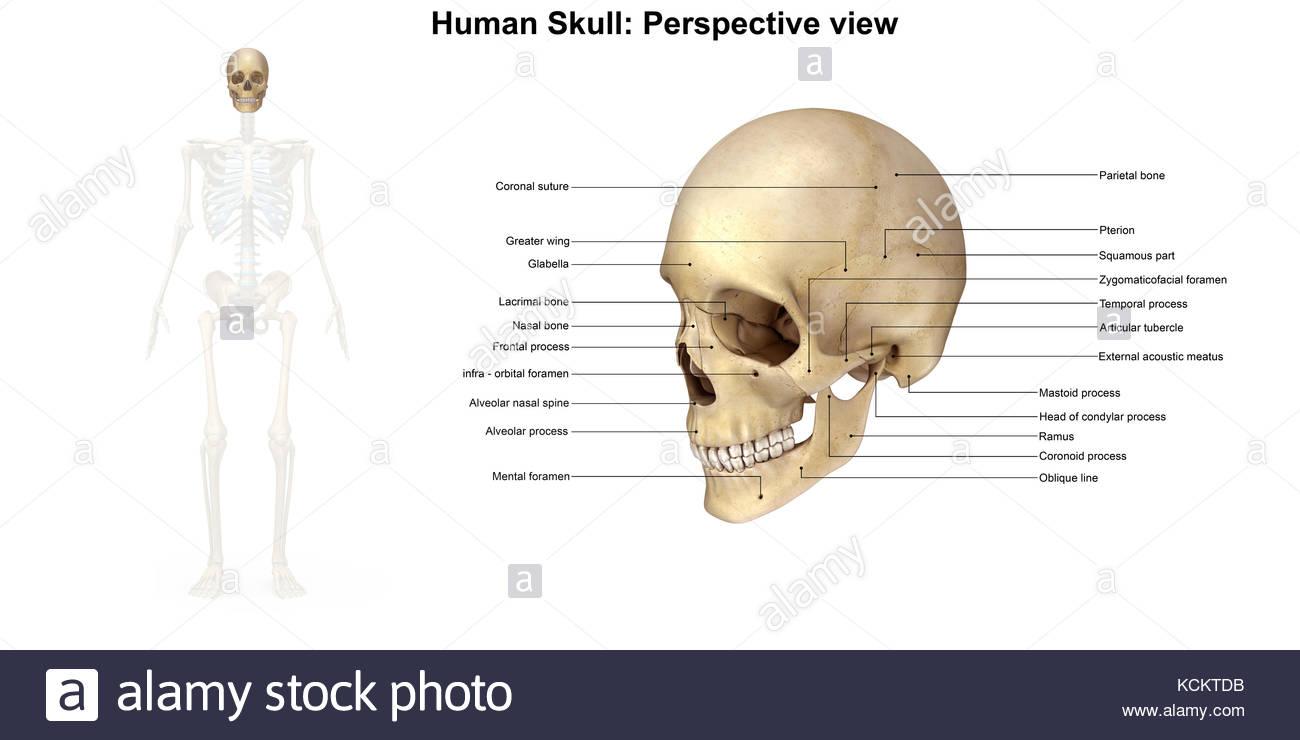 Ausgezeichnet Anatomie Schädel Diagramm Galerie - Menschliche ...