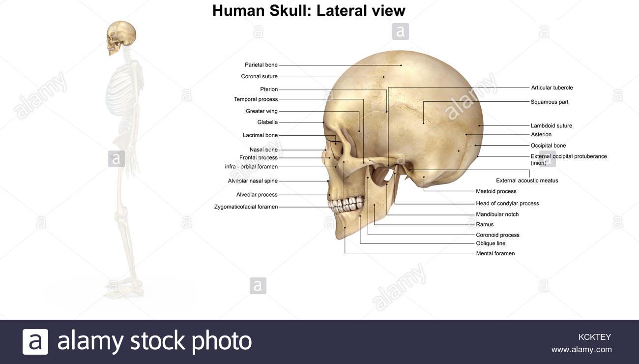 Groß Diagramm Des Menschlichen Schädels Zeitgenössisch - Menschliche ...