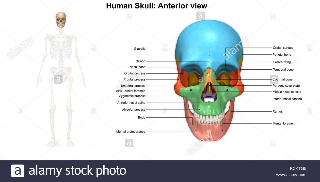 Nett Schädelanatomie Diagramm Galerie - Menschliche Anatomie Bilder ...