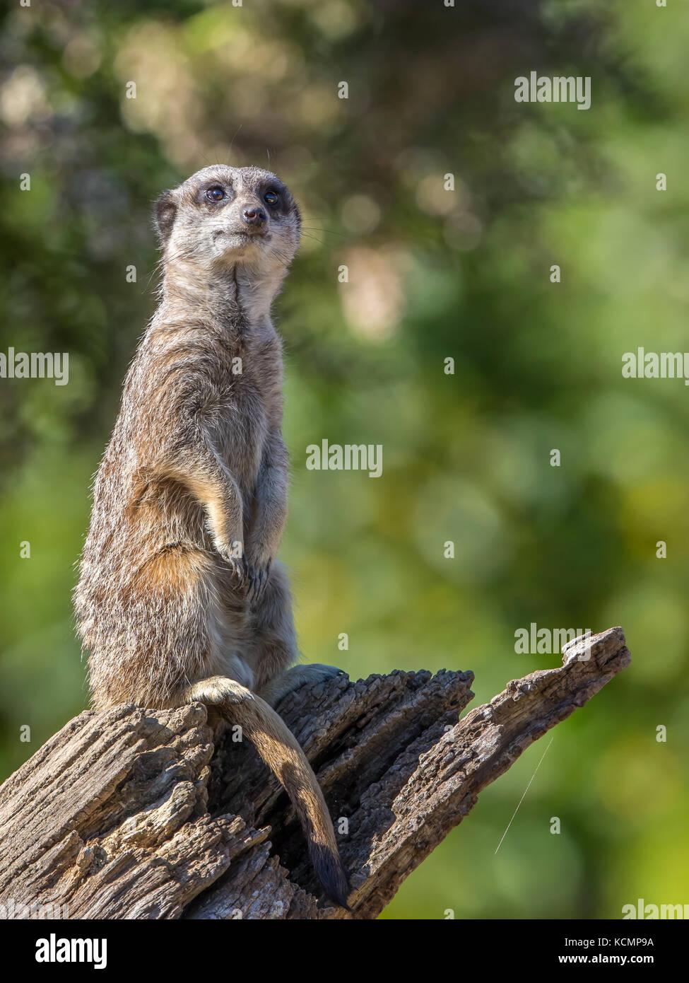 Detaillierte, Nahaufnahme Vorderansicht von isolierten Erdmännchen (Suricata suricatta) aufrecht sitzend auf Stockbild