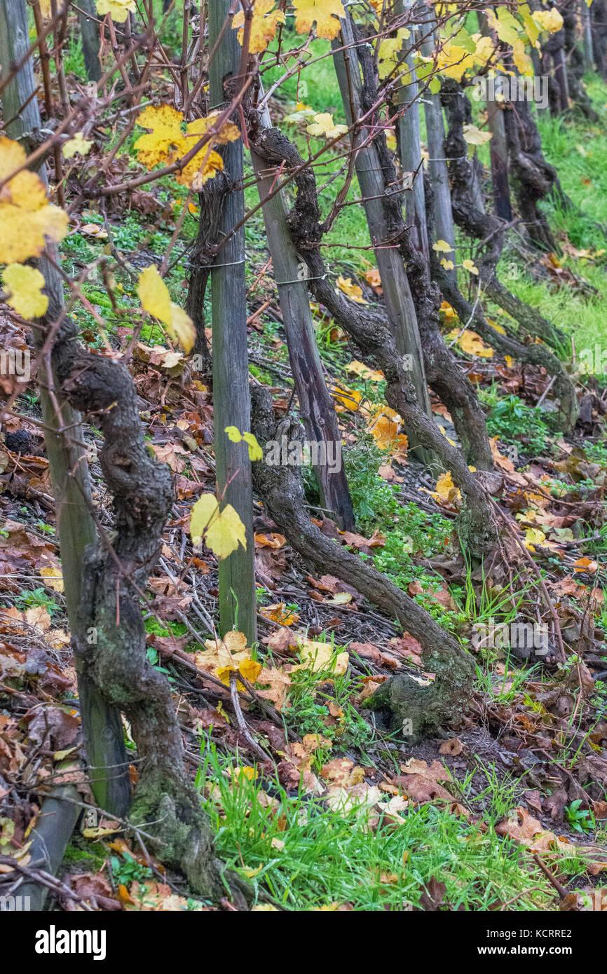 Deutscher Wein Branche: Alte Reben an maximiner Herrenberg, Longuich, Mosel, Deutschland Stockbild
