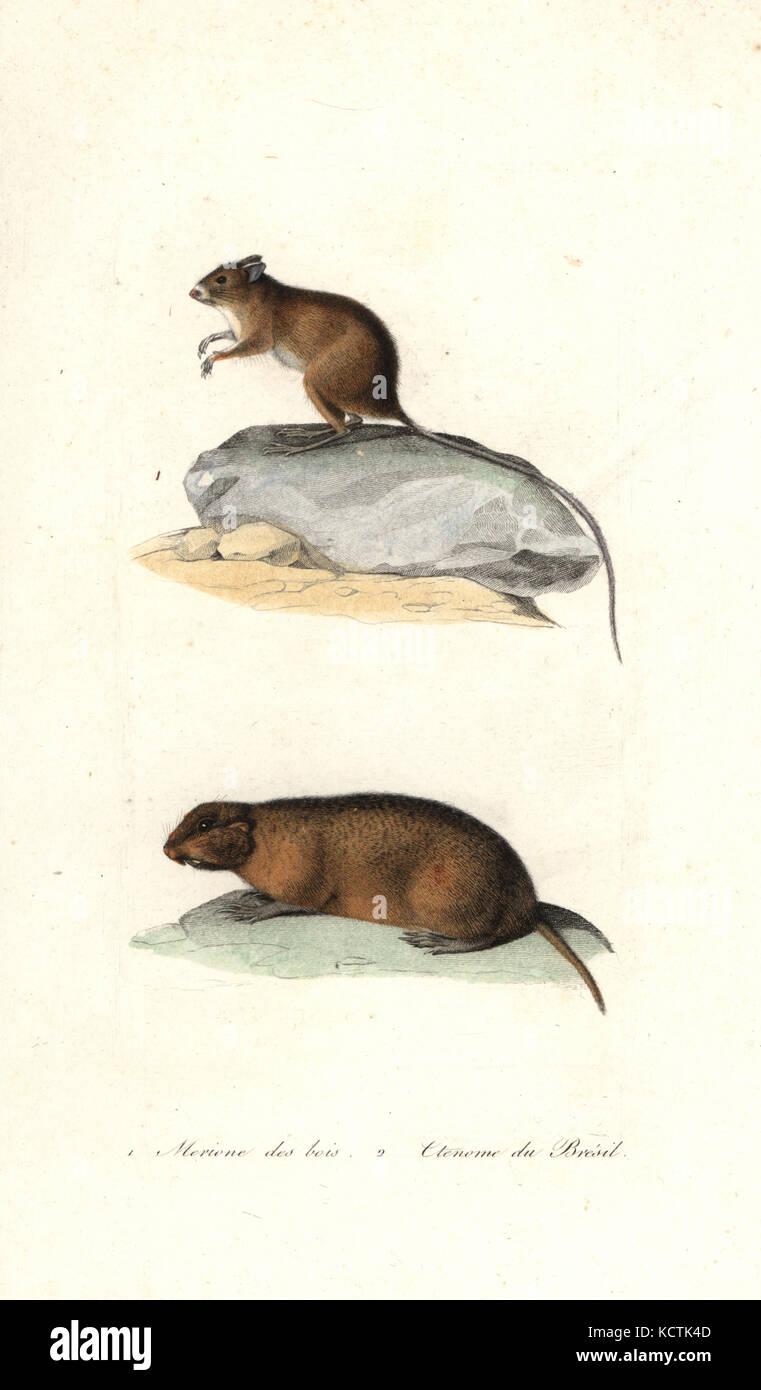 Mongolische Wüstenrennmaus, Meriones unguiculatus, und brasilianischen tuco Tuco -, Ctenomys brasiliensis. Stockbild