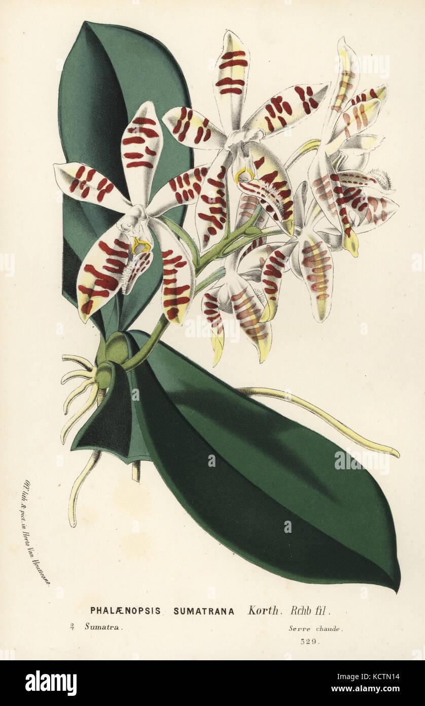 Sumatra Phalaenopsis Orchidee, Phalaenopsis sumatrana. handkoloriert ...