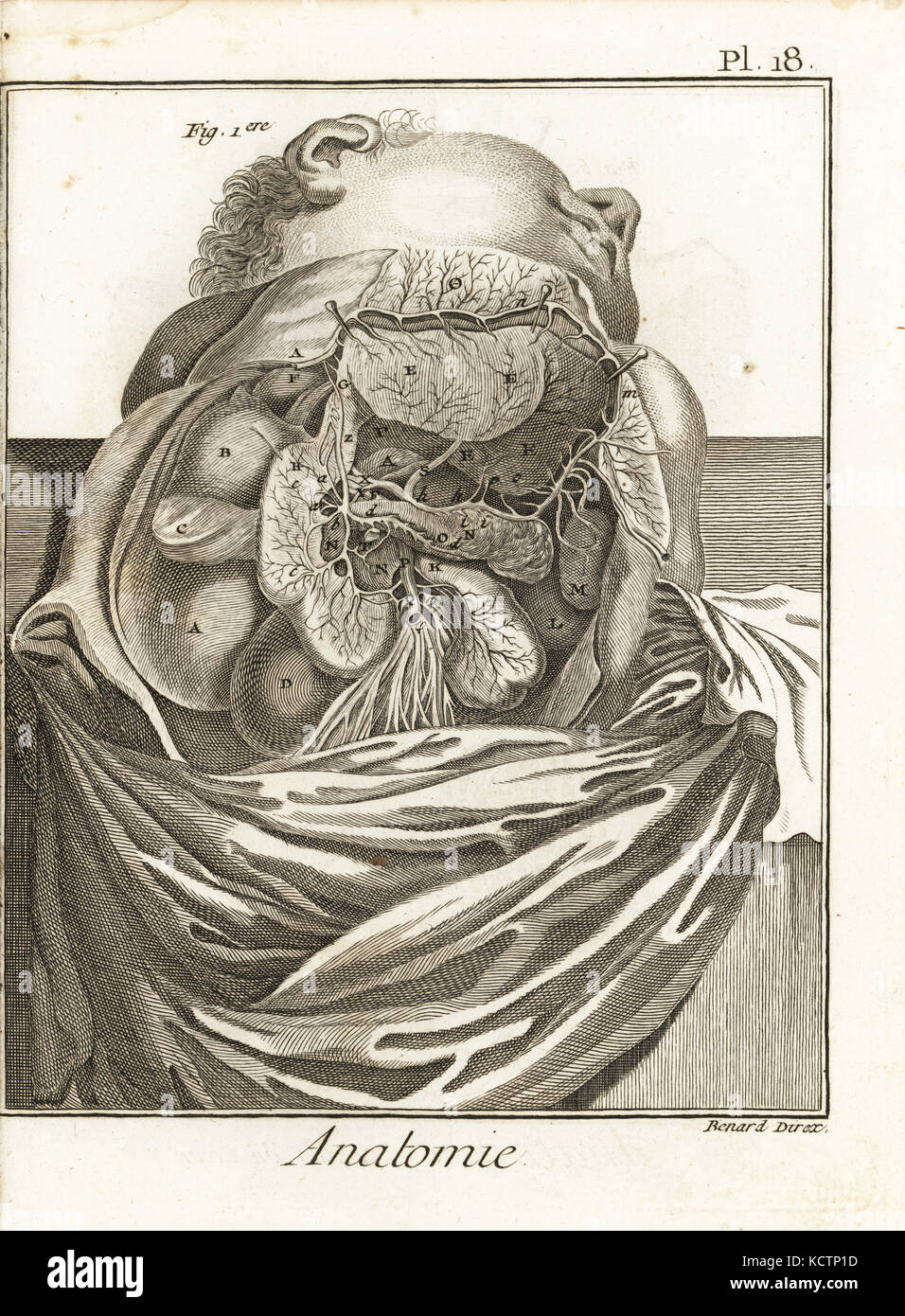 Anatomische Abbildung: innere Organe und Gefäße innerhalb der ...