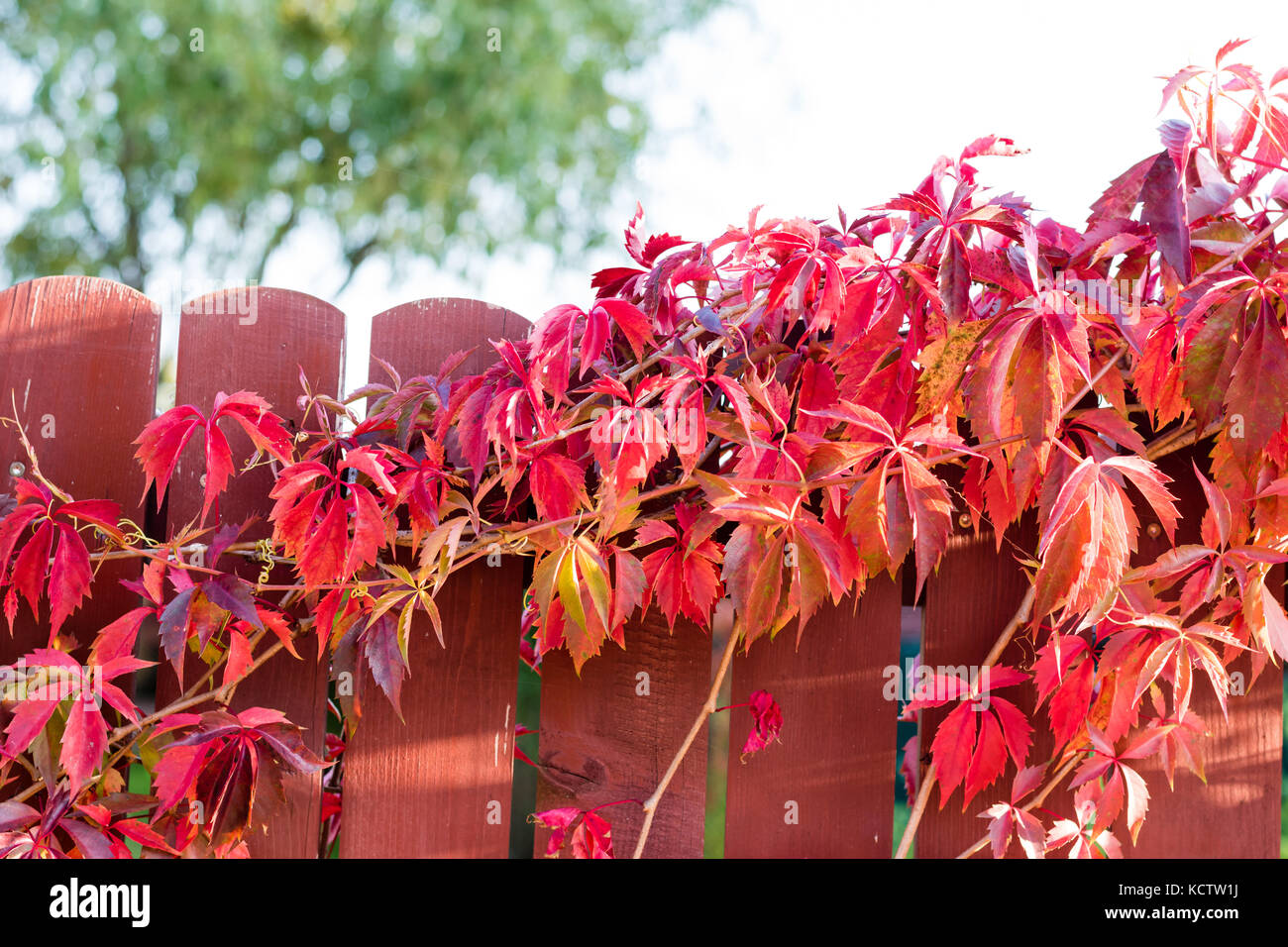 Orange Growing By Fence Stockfotos & Orange Growing By Fence Bilder ...