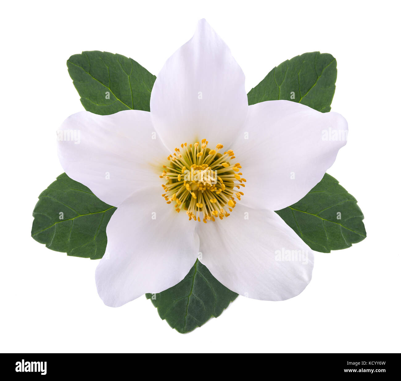 Hellebore Blüte (Weihnachten) auf die weiße Rose isoliert Stockfoto ...