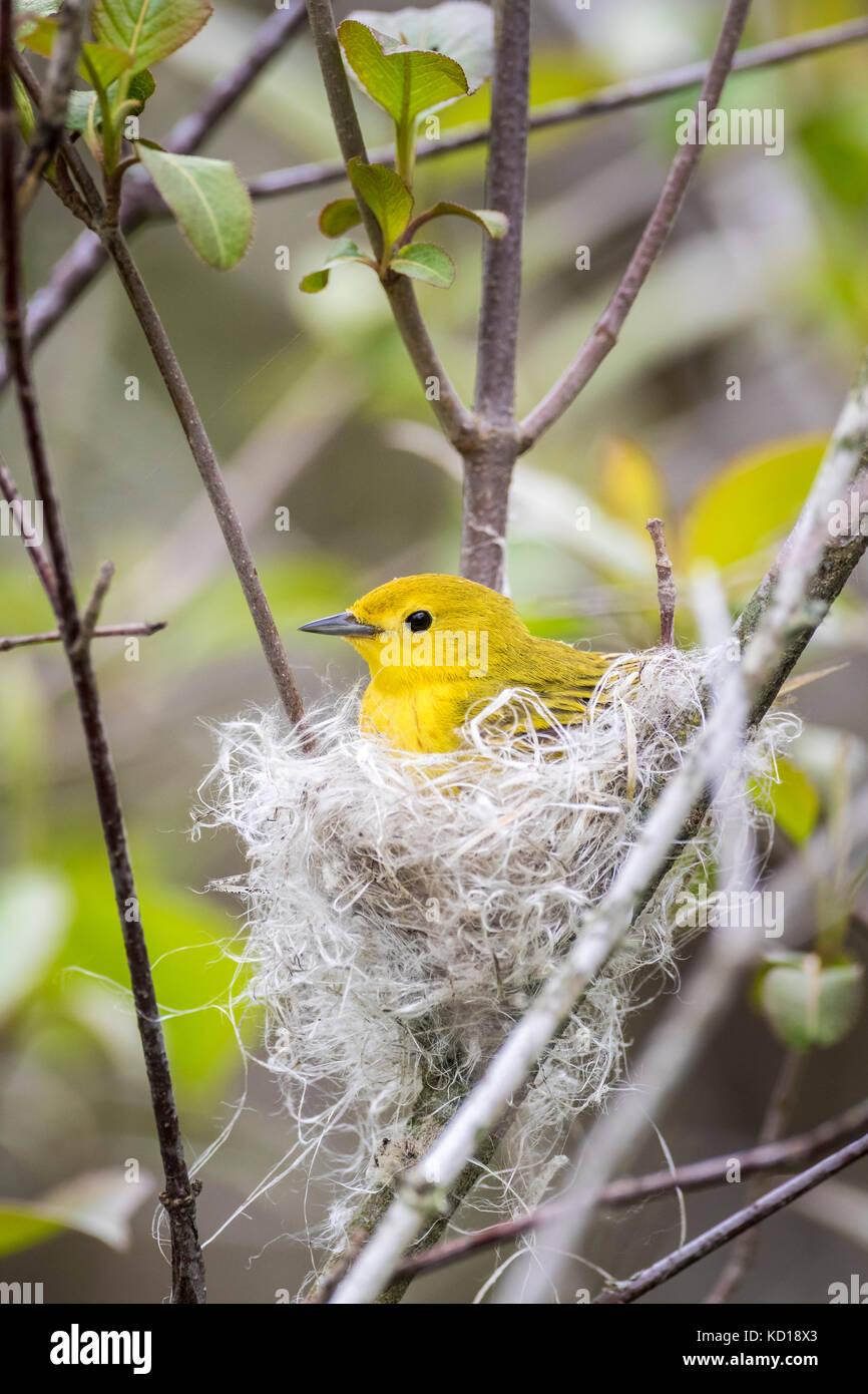 Weibliche Schnäpperrohrsänger (setophaga Petechien) Gebäude ein Nest von Flauschigen Pflanzenfasern Stockbild