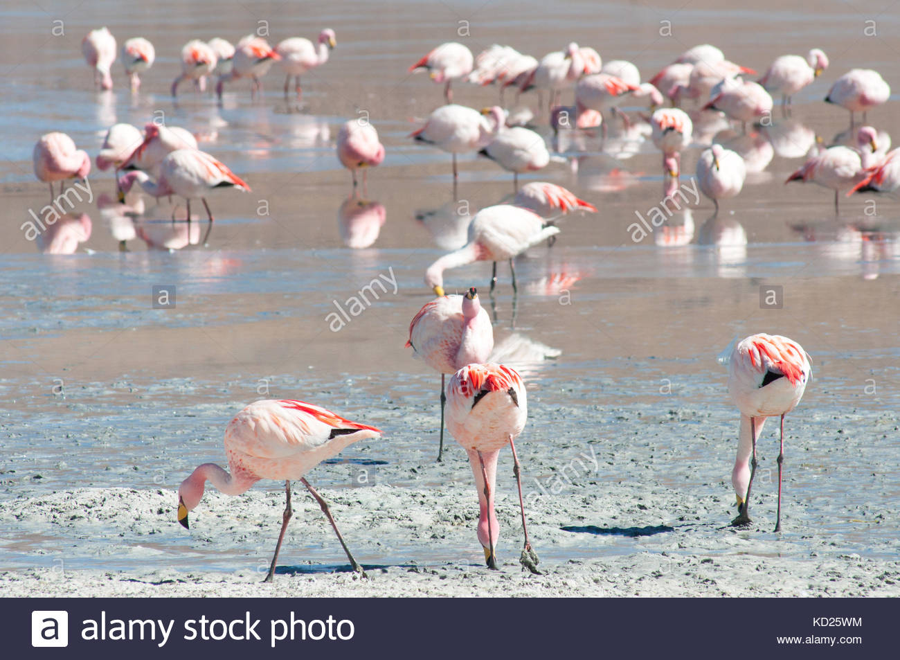 Flamingos, Laguna Hedionda, reserva Eduardo Avaroa, Bolivien Stockbild