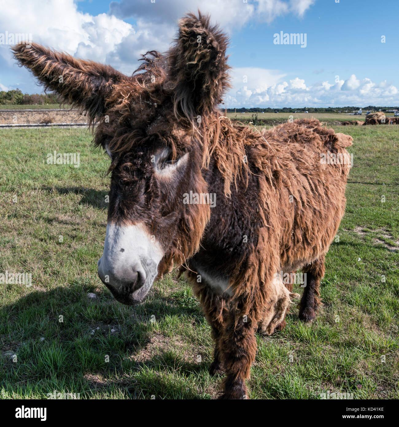 Saint Martin de Re, haarigen Esel, Ile de Re, Nouvelle - Aquitaine, Französisch westcoast, Frankreich, Stockbild
