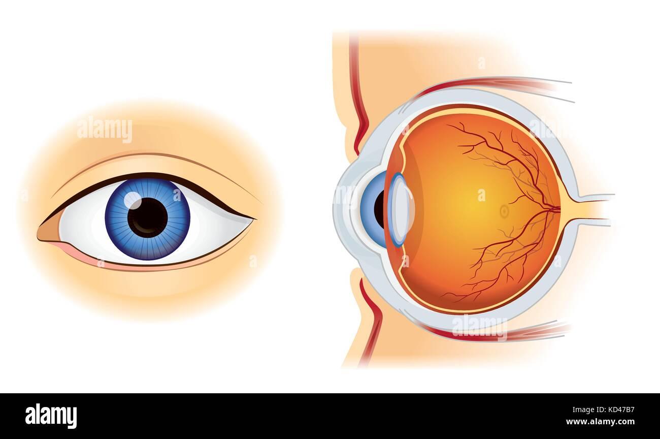 Menschliche Auge Anatomie in Innen und Außen Seitenansicht auf Weiß ...