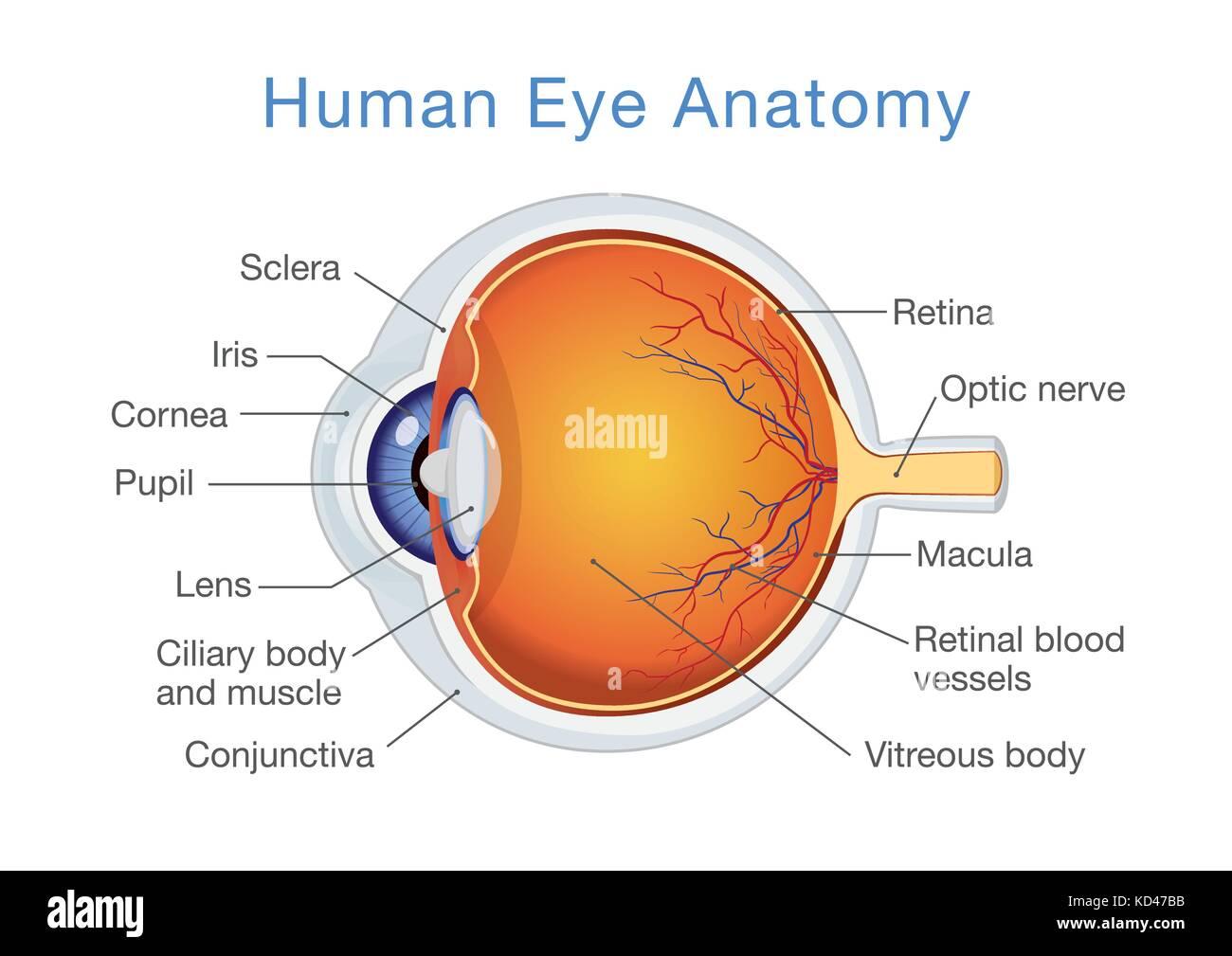 Anatomie des menschlichen Auges und Beschreibungen Vektor Abbildung ...