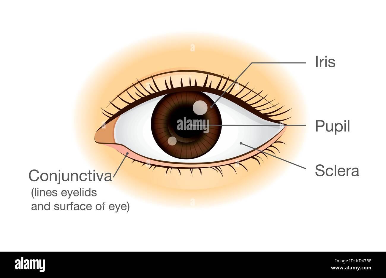 Menschliche Auge Anatomie in der Ansicht von vorn Vektor Abbildung ...