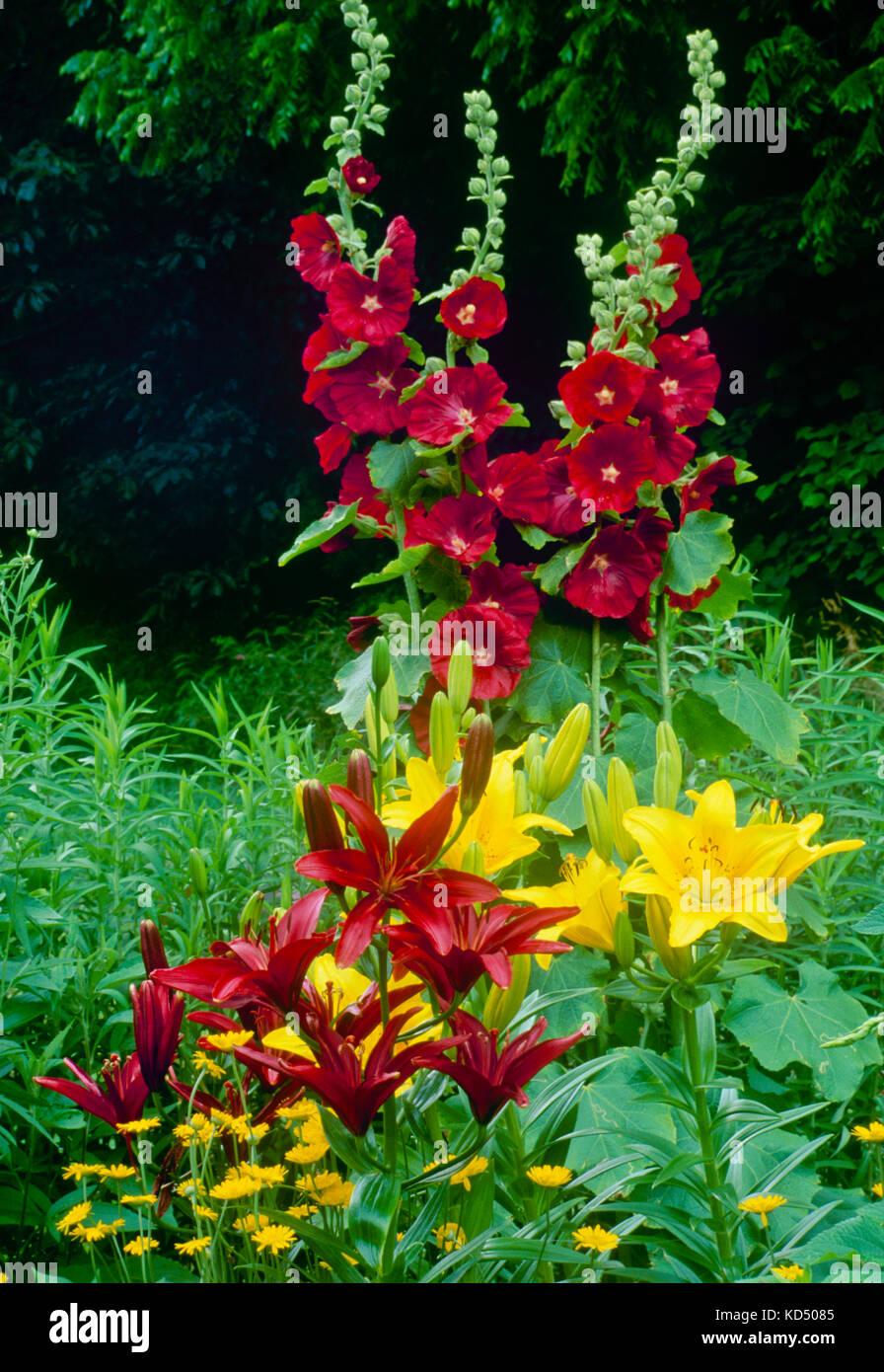 Rote Stockrosen mit passenden Lillies in Country Garden, Midwest USA Stockbild