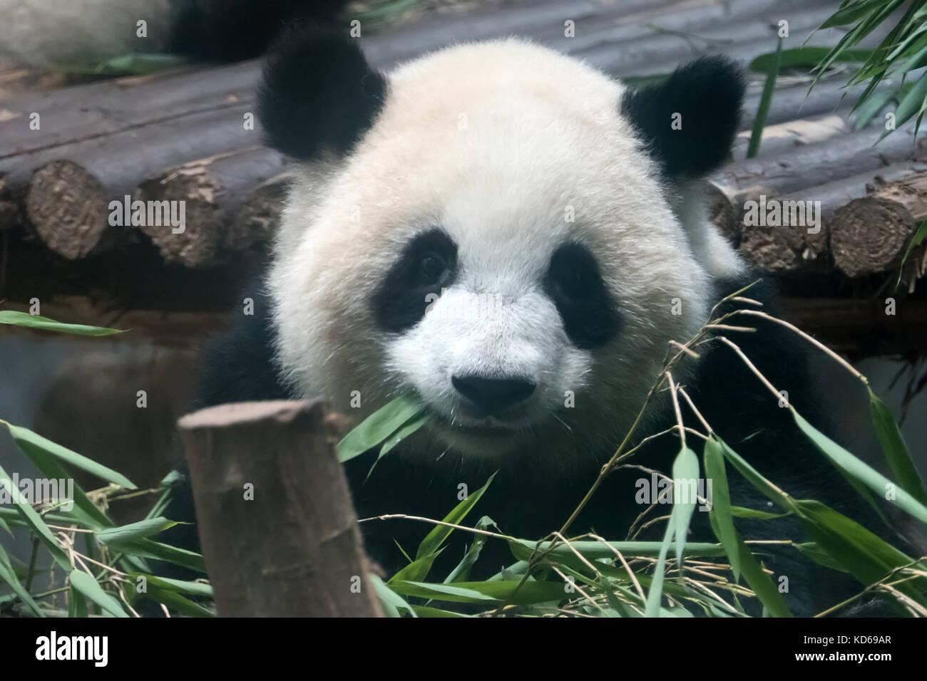 Chengdu Panda Forschungs Und Aufzuchtstation In China Und Asien