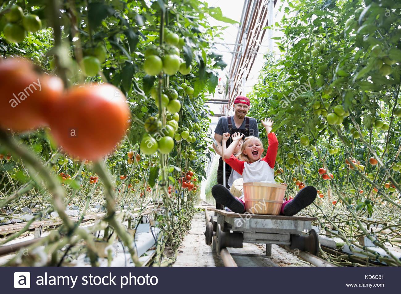 Vater schieben Verspielte Kinder auf Warenkorb zwischen wachsenden Tomaten Pflanzen im Gewächshaus Stockbild