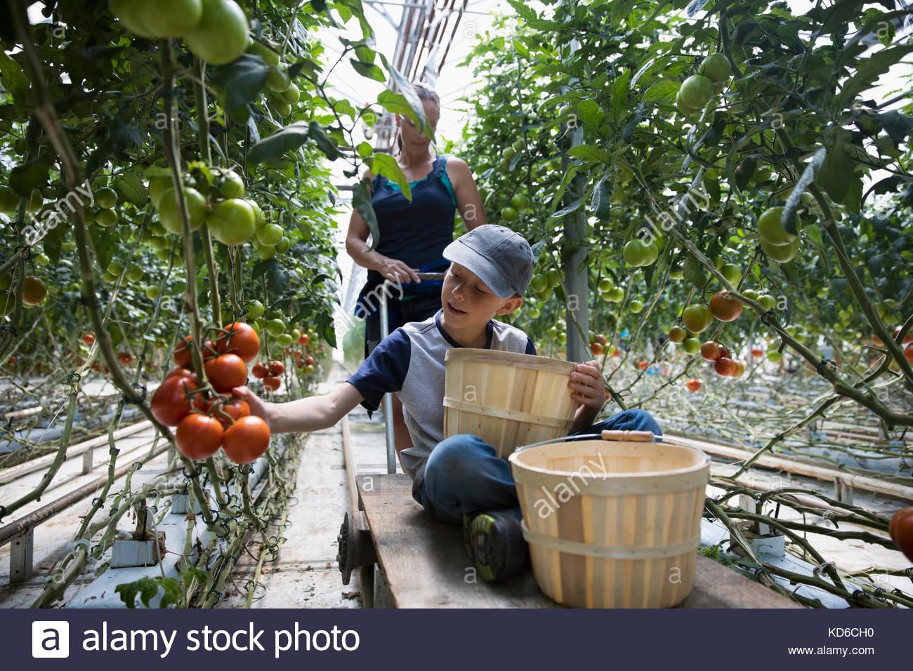 Junge mit scheffel ernten Tomaten wachsen auf tomatenpflanze im Gewächshaus Stockbild