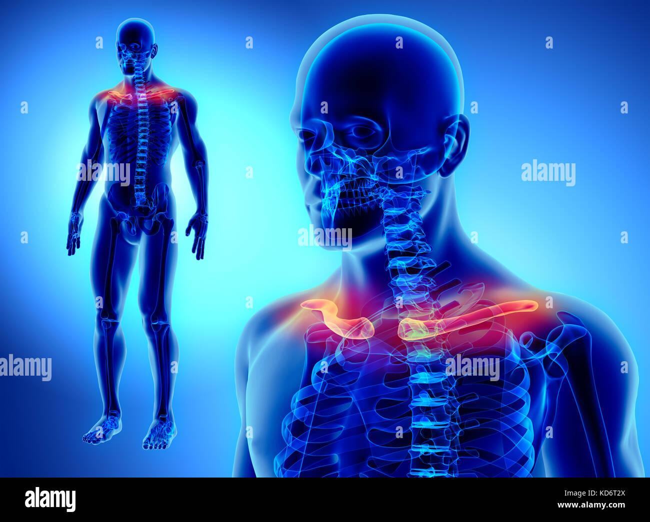 3D-Darstellung der schlüsselbein - Teil des menschlichen Skeletts ...