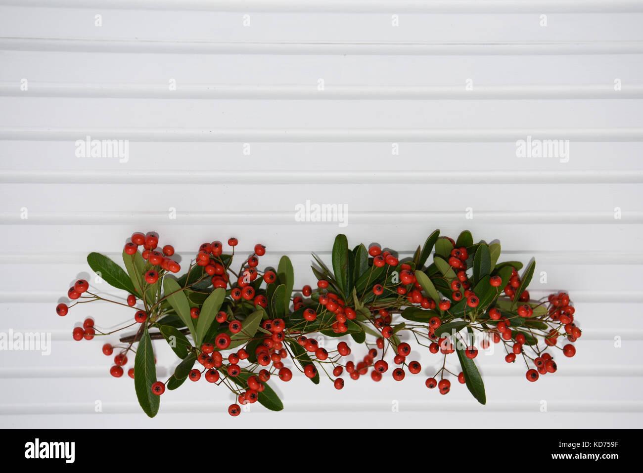 pflanze mit roten beeren weihnachten immergr ne pflanze pernettya mit roten beeren gaultheria. Black Bedroom Furniture Sets. Home Design Ideas