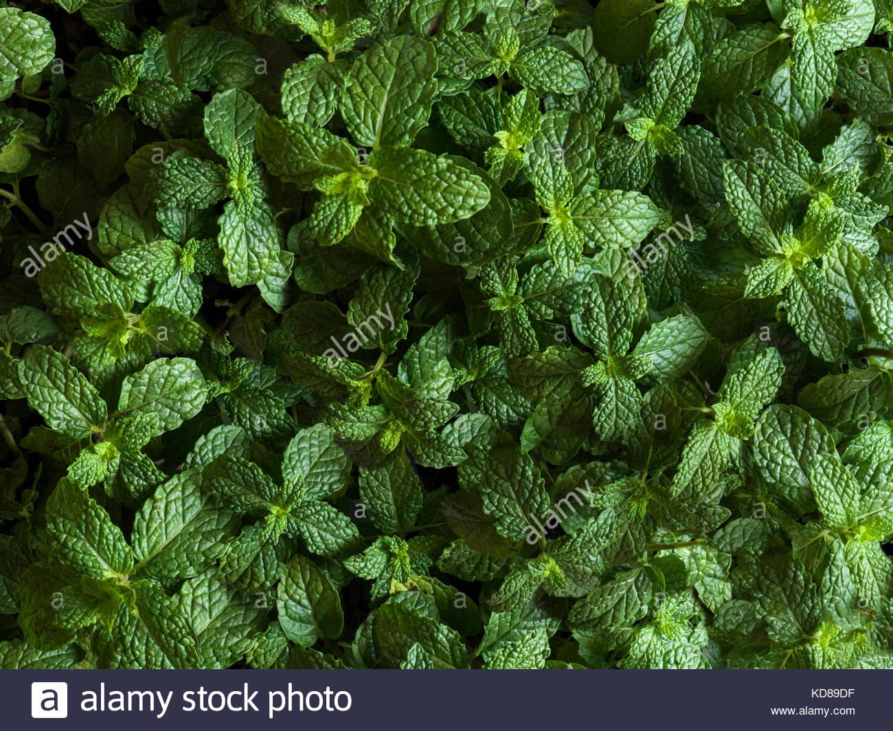 Extragroße Schuss von Minze Pflanzen von oben Stockbild