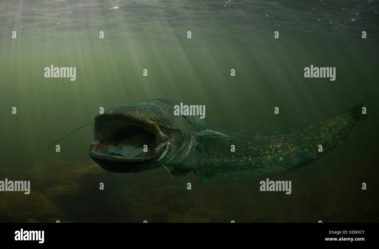 Wels Wels, Silurus glanis. leben bis zu 80 Jahre in der Wildnis und kann 5 m Länge mit über 300 kg Gewicht Stockbild
