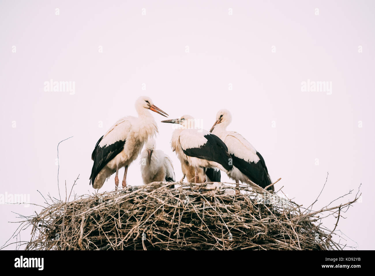 Familie von Erwachsenen europäischen Weißstörche im Nest auf weißen Himmel Hintergrund. Stockbild