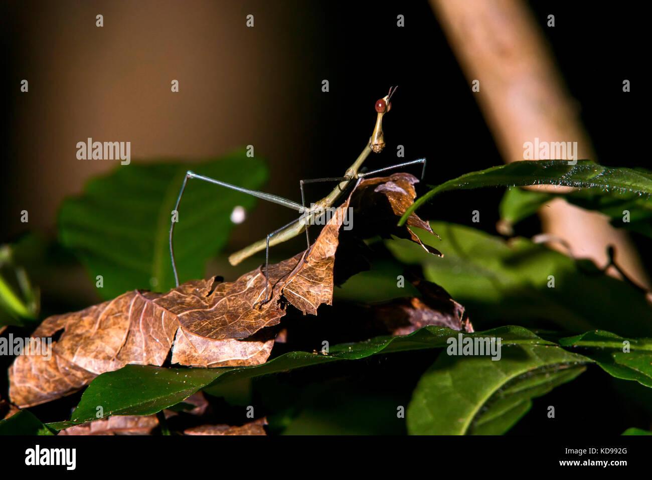 """""""Bicho - Pau (Insecta) fotografado em Linhares, Espírito Santo Nordeste do Brasil. b... Mata Atlântica. Stockbild"""