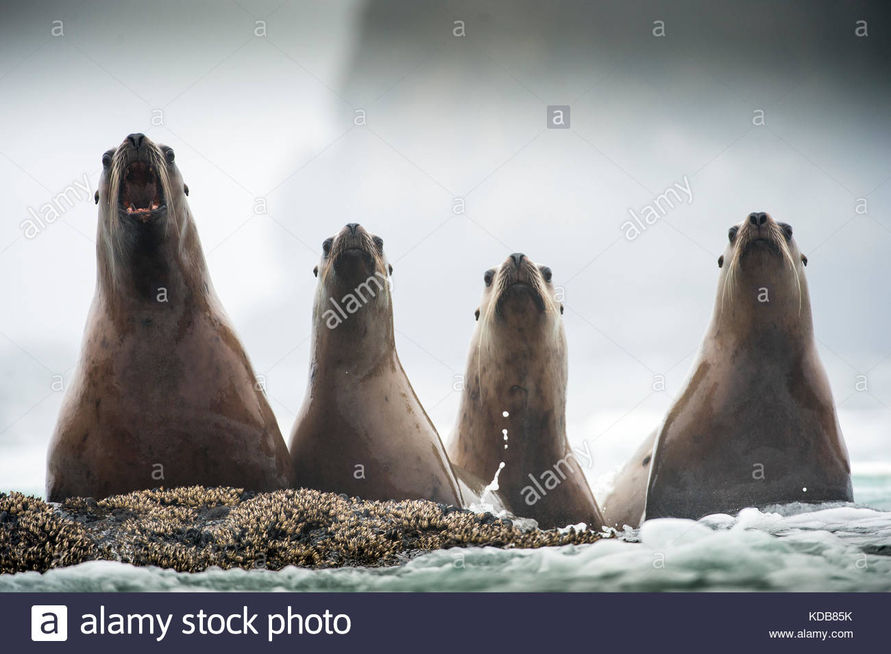 Vier jugendliche Steller Seelöwen, Eumetopias jubatus. Stockbild