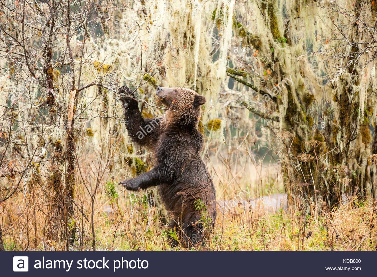 Ein Grizzly Bär, Ursus arctos, Feeds auf Crabapples im Herbst. Stockbild