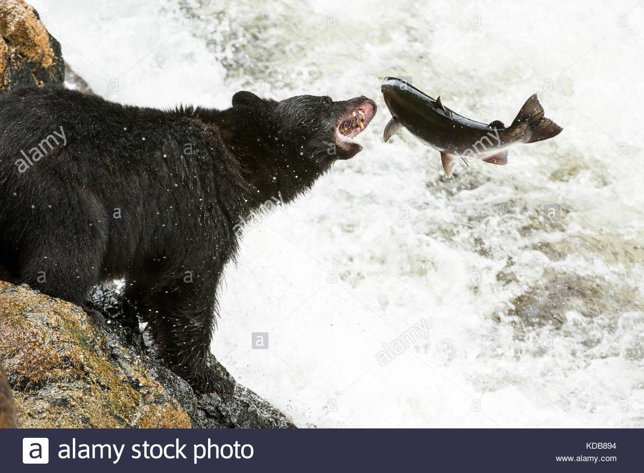 Ein schwarzer Bär, Ursus americanus, Versuche, ein coho Lachs zu fangen, Oncorhyncus kisutch, an einem Wasserfall. Stockbild