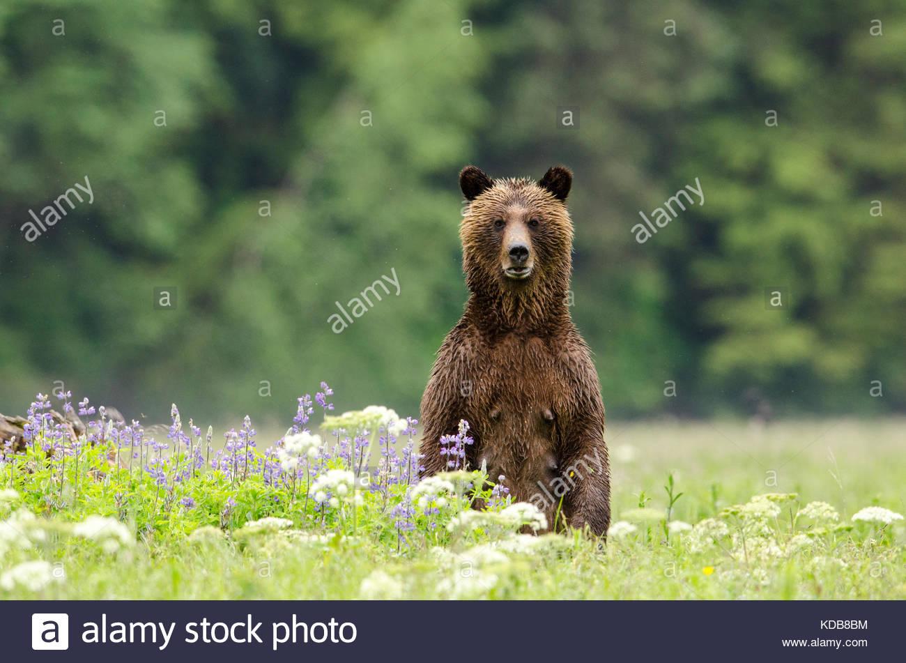 Eine weibliche Grizzlybären, Ursus arctos, stehend in einem Patch der Feder Lupin. Stockbild