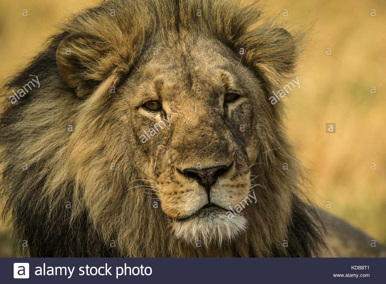 Portrait von ein Löwe Panthera leo. Stockbild