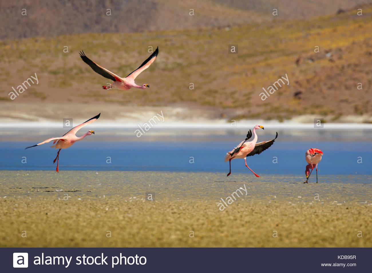 Eine Gruppe von Flamingos, phoenicopterus, Landung auf einem See in den bolivianischen Anden Altiplano. Stockbild