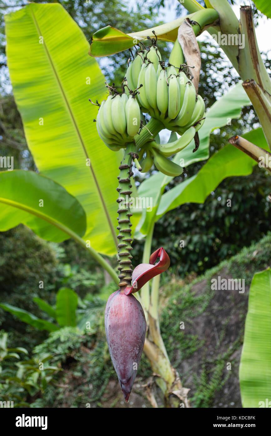 banana forest stockfotos banana forest bilder alamy. Black Bedroom Furniture Sets. Home Design Ideas