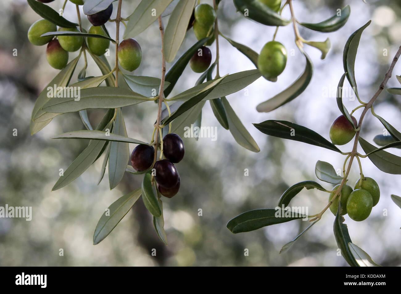 Oliven am Baum in einer Plantage bei Limone sul Garda/der Gardasee (Lago di Garda) mit Fischlocker bilderbuchlandschaft Stockbild