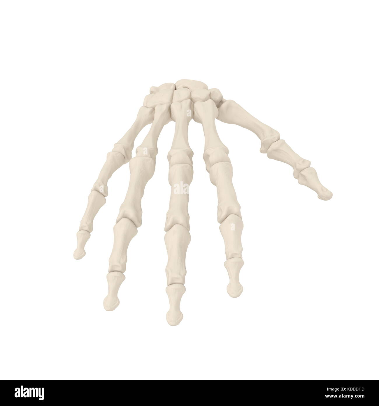 Arm Bones Stockfotos & Arm Bones Bilder - Alamy