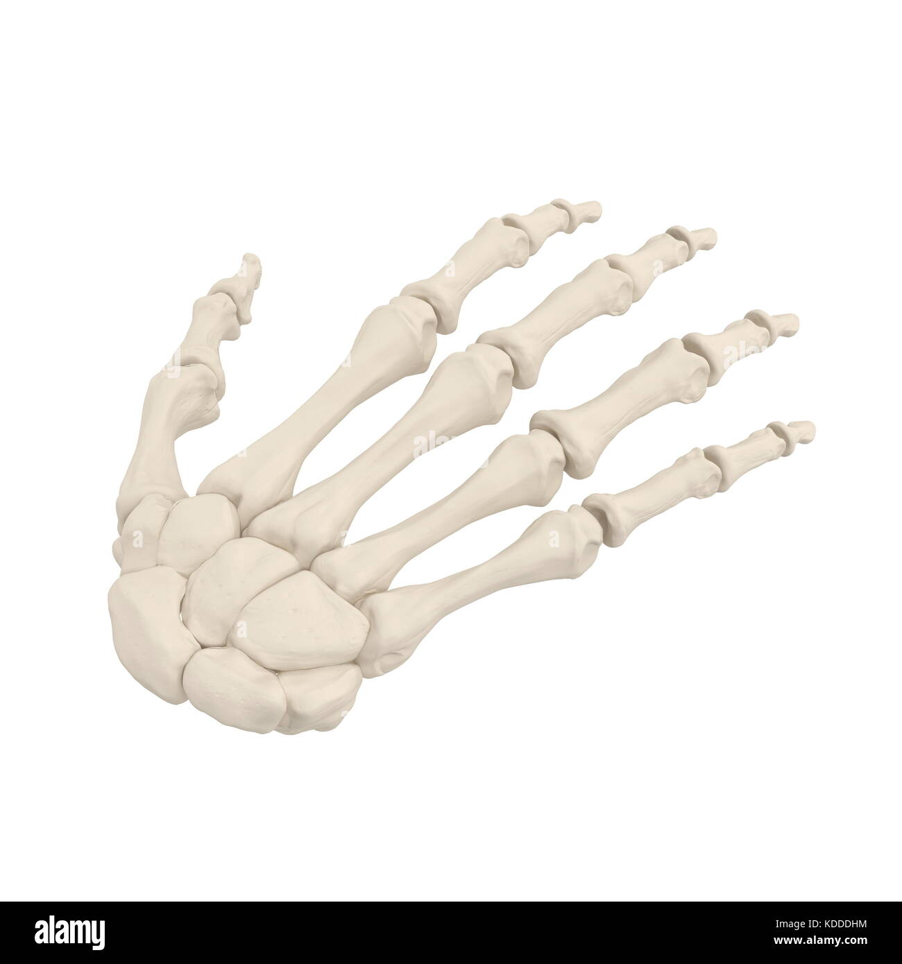 Menschlichen arm Knochen auf Weiß. 3D-Darstellung Stockfoto, Bild ...